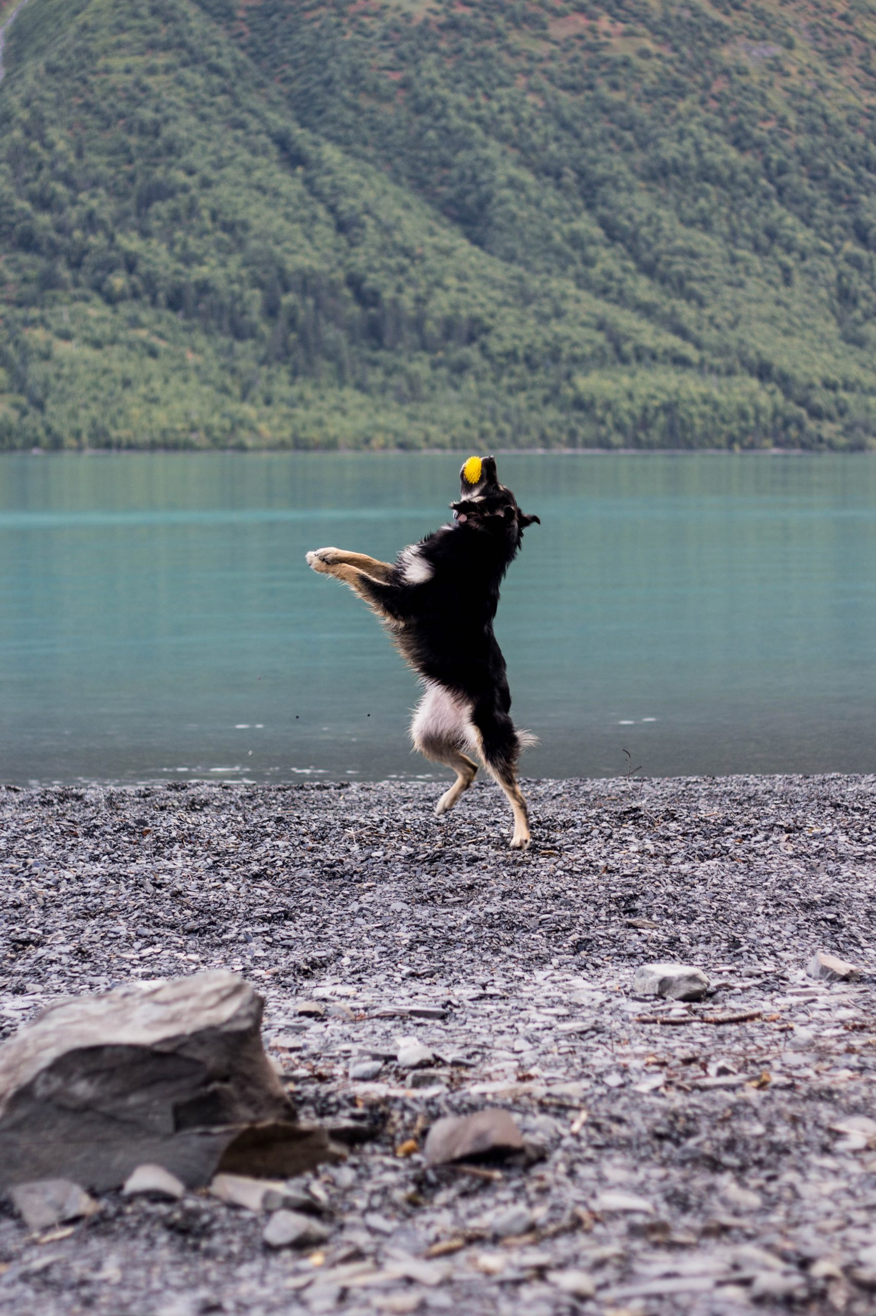 Australian Shepherd leaping up