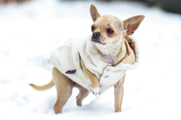 Trixie, a small chihuahua, in the snow
